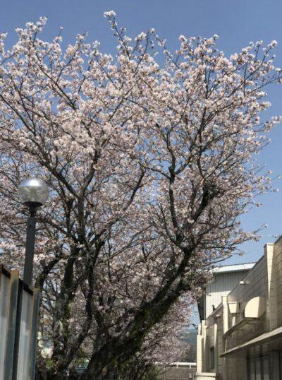 桜もそろそろ見納めです。|2021年4月更新